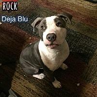 American Bulldog Mix Dog for adoption in New York, New York - Deja Blue