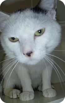 Domestic Shorthair Cat for adoption in Hamburg, New York - Desi