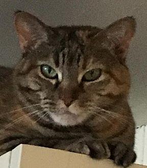 Domestic Shorthair Cat for adoption in O'Fallon, Missouri - Honey Bee