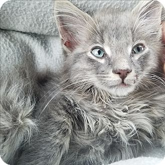 Domestic Shorthair Kitten for adoption in Tempe, Arizona - Noah