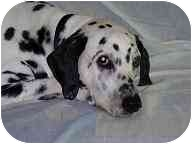 Dalmatian Dog for adoption in Milwaukee, Wisconsin - Snoopy