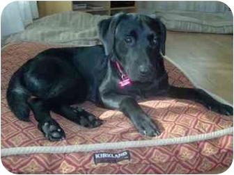 Labrador Retriever Mix Dog for adoption in Northville, Michigan - Dante