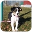 Photo 1 - Spaniel (Unknown Type)/Collie Mix Puppy for adoption in Austin, Minnesota - Darla