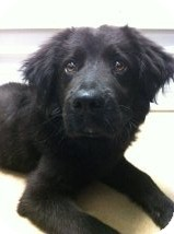 Newfoundland/Labrador Retriever Mix Puppy for adoption in Russellville, Kentucky - Malcolm