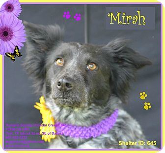 Border Collie/Cattle Dog Mix Dog for adoption in Plano, Texas - Mirah