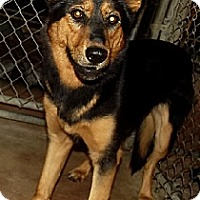 Shepherd (Unknown Type) Mix Dog for adoption in Savannah, Missouri - Zena