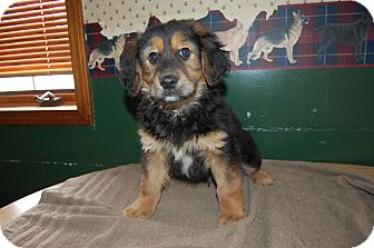 Shepherd (Unknown Type) Mix Puppy for adoption in North Judson, Indiana - Benny