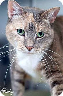 Calico Cat for adoption in Manahawkin, New Jersey - Baby
