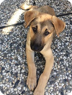 German Shepherd Dog Mix Puppy for adoption in Pleasanton, California - Riley