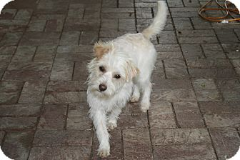 Cairn Terrier Mix Dog for adoption in Mesa, Arizona - Carson