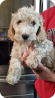 Labradoodle Puppy for adoption in Liberty Center, Ohio - Patriotic Pete