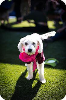 Poodle (Miniature)/Schnauzer (Miniature) Mix Dog for adoption in Los Angeles, California - Nettie Pie
