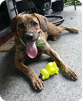Plott Hound/Hound (Unknown Type) Mix Dog for adoption in Spring Valley, New York - Maddie (Pom-Linda)