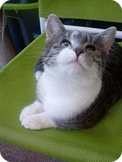 American Shorthair Cat for adoption in Brooklyn, New York - Skye*
