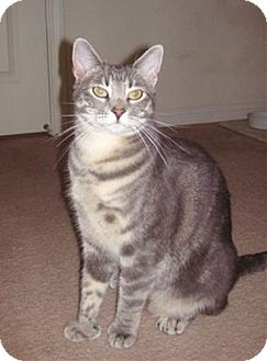 Polydactyl/Hemingway Cat for adoption in Walnut Creek, California - Toby