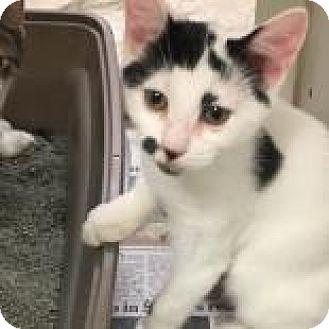 Domestic Shorthair Kitten for adoption in Columbus, Georgia - Scrabble 9121