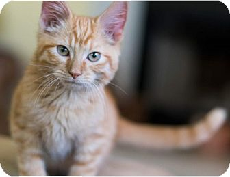 Domestic Shorthair Kitten for adoption in Hillside, Illinois - Henry-12-14 WEEKS