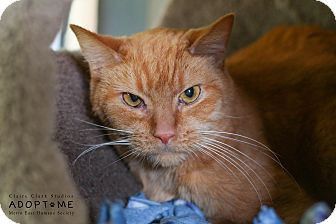 Domestic Shorthair Cat for adoption in Edwardsville, Illinois - Griffin