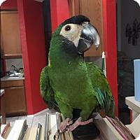 Adopt A Pet :: Andy - Burleson, TX