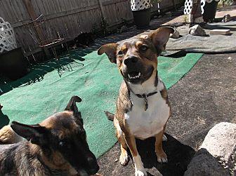 German Shepherd Dog/Boxer Mix Dog for adoption in Evergreen Park, Illinois - Simon