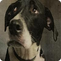 Adopt A Pet :: Bandit - East Hartford, CT