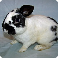 Adopt A Pet :: Flop - Alexandria, VA