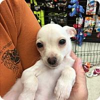 Adopt A Pet :: Austin - Gilbert, AZ