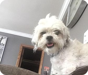 Shih Tzu/Poodle (Miniature) Mix Dog for adoption in Monrovia, California - Archie