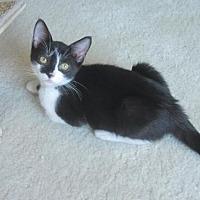 Domestic Shorthair Cat for adoption in Oakhurst, New Jersey - Harmony