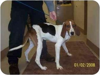 Coonhound/Treeing Walker Coonhound Mix Dog for adoption in Tiffin, Ohio - Hero Joe-URGENT