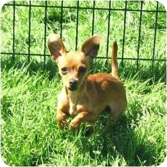 Chihuahua Mix Puppy for adoption in Ile-Perrot, Quebec - Gucci