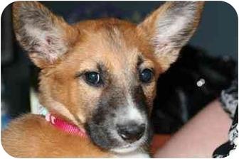 Shepherd (Unknown Type) Mix Dog for adoption in tucson, Arizona - Jenny