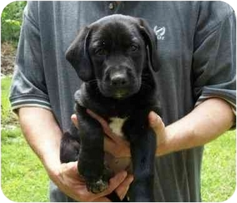 Labrador Retriever Mix Puppy for adoption in Salem, Massachusetts - Butch