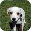 Photo 2 - Dalmatian/Pointer Mix Puppy for adoption in Milledgeville, Georgia - Doodle