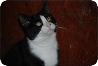Domestic Shorthair Cat for adoption in Putnam Valley, New York - Jimmy
