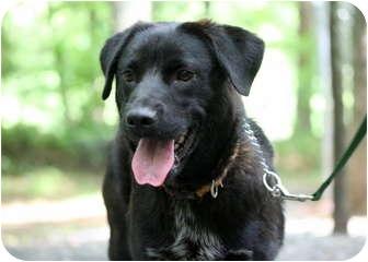 Labrador Retriever/Retriever (Unknown Type) Mix Dog for adoption in Cleveland, Georgia - Dodger