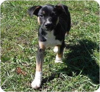 Jack Russell Terrier/Chihuahua Mix Puppy for adoption in Foster, Rhode Island - Einstein