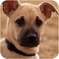 Shar Pei Mix Puppy for adoption in Denver, Colorado - Nick