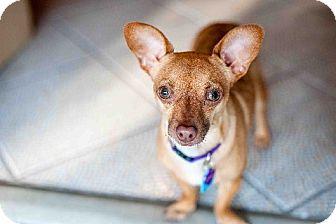 Chihuahua Mix Dog for adoption in Santa Monica, California - Barney