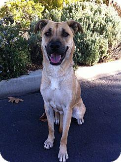 Labrador Retriever/German Shepherd Dog Mix Dog for adoption in Irvine, California - DARLA