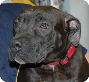 Pit Bull Terrier Mix Dog for adoption in Brooklyn, New York - Rocky
