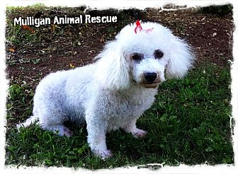 Bichon Frise Dog for adoption in Mount Royal, New Jersey - Beatrice