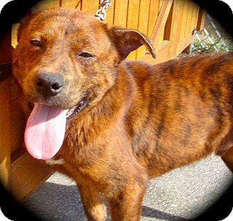 Mountain Cur/German Shepherd Dog Mix Dog for adoption in Ijamsville, Maryland - Highway