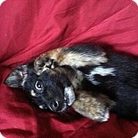 Adopt A Pet :: Joy - Columbia, SC