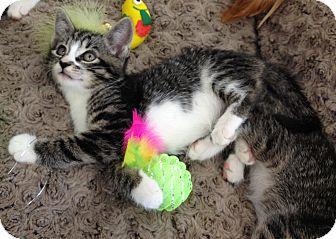 Domestic Shorthair Kitten for adoption in Horsham, Pennsylvania - Shiloh