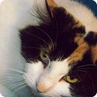 Domestic Mediumhair Cat for adoption in Westville, Indiana - Sadie