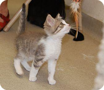 Domestic Mediumhair Kitten for adoption in Bucyrus, Ohio - Hoopin' N Hollarin'