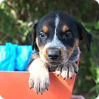 Adopt A Pet :: *Dash - PENDING - Westport, CT