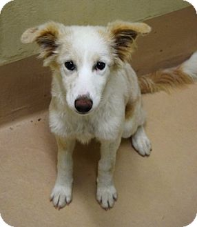 Border Collie Mix Puppy for adoption in Dublin, California - Snowy