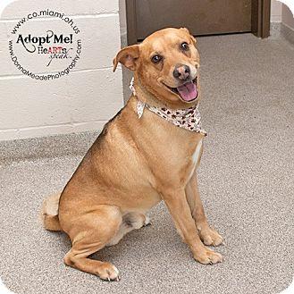 Shepherd (Unknown Type)/Labrador Retriever Mix Dog for adoption in Troy, Ohio - Bo-ADOPTED